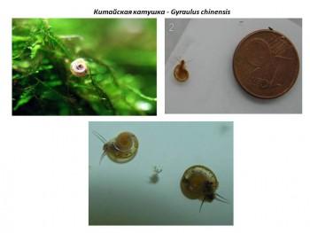 8 видов полезных аквариумных улиток с фото видео