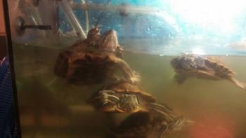 Отдам красноухую черепаху - bAU1hVpBlSA.jpg